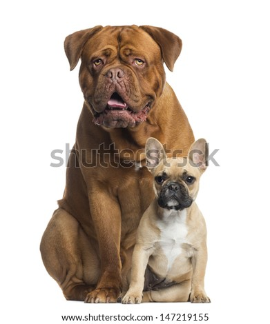 Dogue de Bordeaux panting and French bulldog puppy sitting, isolated on white - stock photo