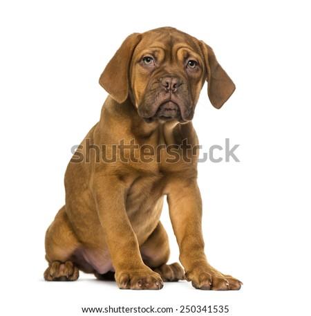 Dogue de Bordeaux puppy - stock photo