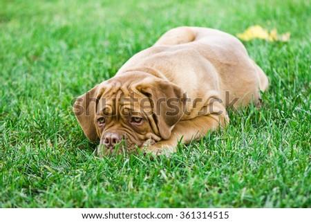 Dogue de Bordeaux puppy in park - stock photo