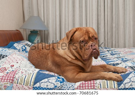 Dogue De Bordeaux puppy laying in master's bed - stock photo