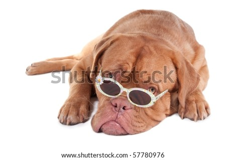 Dogue de Bordeaux puppy looking over sunglasses, isolated on white background - stock photo