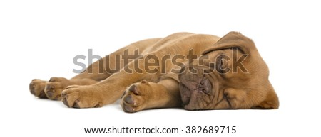 Dogue de Bordeaux puppy lying and sleeping in front of a white background - stock photo