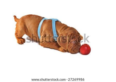 Dogue De Bordeaux Puppy Playing with Apple - stock photo