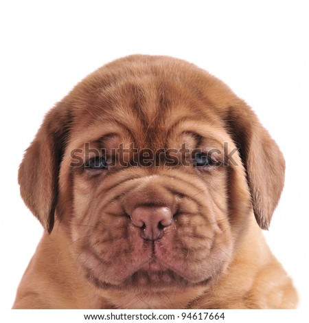 Dogue De Bordeaux puppy portrait - stock photo