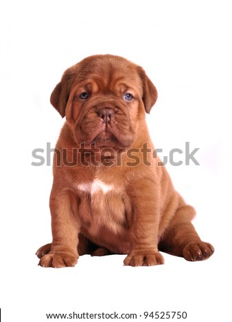 Dogue De Bordeaux puppy sitting, studio shot - stock photo