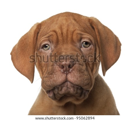 Dogue de Bordeaux puppy, 8 weeks old, in front of white background - stock photo