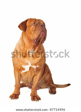 Dogue De Bordeaux sitting, isolated