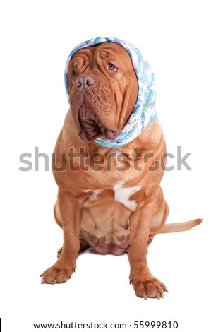 Dogue de bordeaux with a blue scarf on its head looking aside