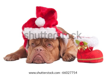 Dogue de bordeaux with Christmas hat and Christmas Boot - stock photo