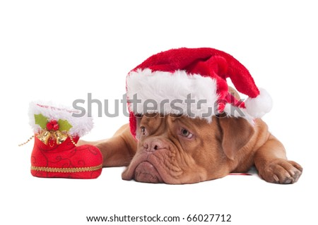 Dogue de bordeaux with Christmas hat and decorations - stock photo