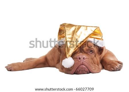Dogue de bordeaux with golden Christmas hat - stock photo