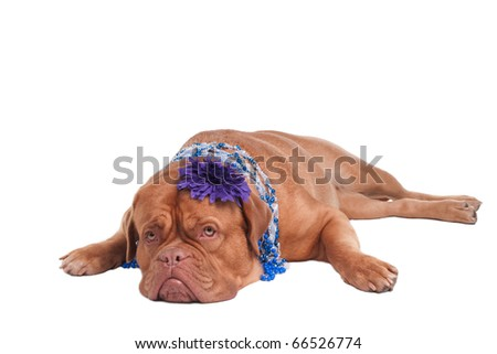 Dogue De Bordeaux with jewellery  on its neck