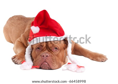 Dogue de bordeaux with Snowwhite's hat - stock photo