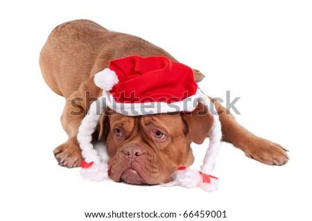 Dogue de bordeaux with Snowwhite's hat looking aside - stock photo