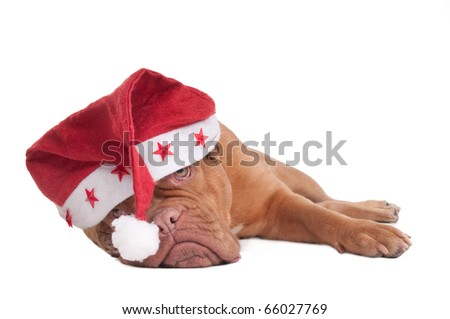 Dogue de bordeaux with Starry Christmas Hat - stock photo