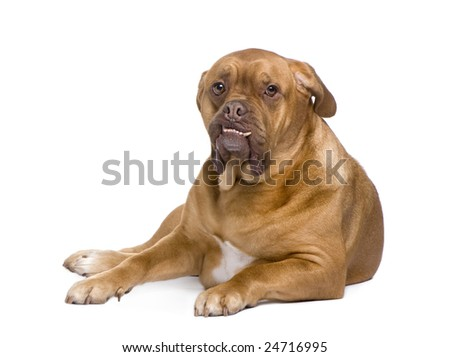 Dogue de Bordeaux (3 years) in front of a white background - stock photo