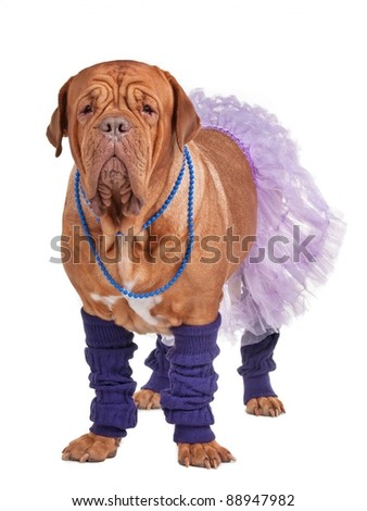 Dogue de boredaux dressed with skirt and leg warmers - stock photo