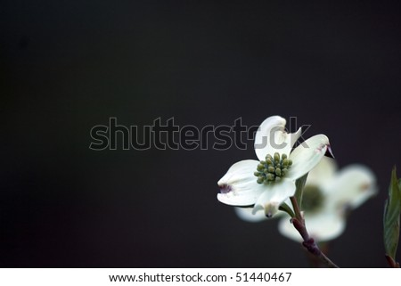 dogwood background