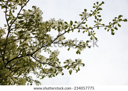 Dogwood blooming branches with white flowers against the white sky background. - stock photo