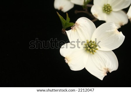 Dogwood blooms on black - stock photo