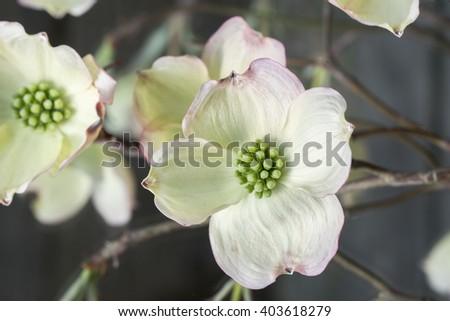 Dogwood Blossom 3 - stock photo