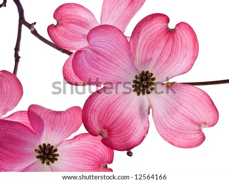 dogwood blossoms - stock photo