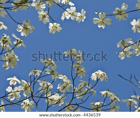 Dogwood blossoms against a clear blue sky from under the tree.