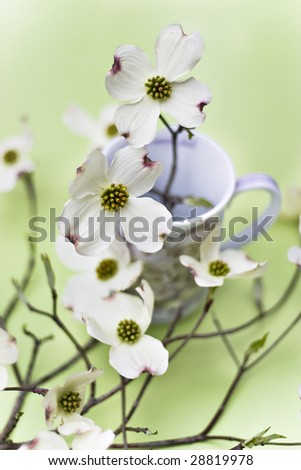 Dogwood blossoms in a delicate tea cup - stock photo