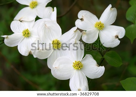 Dogwood Branch in Bloom Horizontal, State flower of Virginia and North Carolina - stock photo