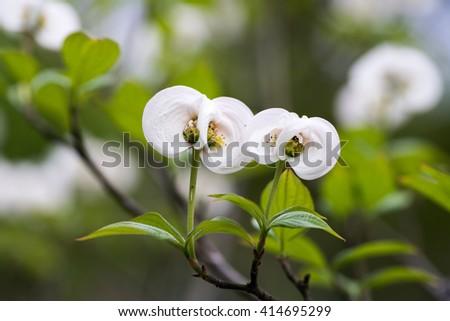 Dogwood flower(Cornus florida) - stock photo