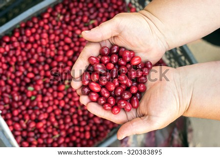Dogwood red berries / fresh dogwood in a wooden bowl on the table / Organic dogwood in a green basket on a wooden table / woman holding a dogwood - stock photo