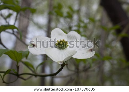 Dogwood tree flower blossoming during spring in North Carolina. - stock photo
