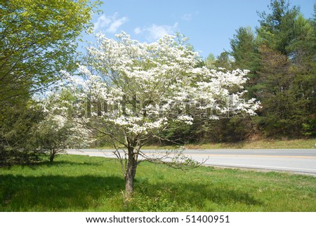 Dogwood Tree in Bloom in South Carolina - stock photo
