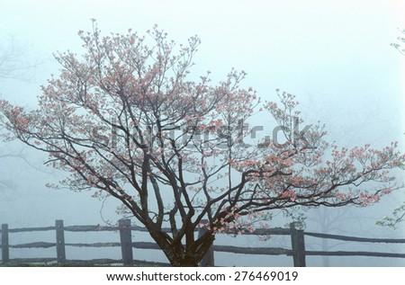 Dogwoods and split rail fence in spring fog, Monticello, Charlottesville, VA - stock photo