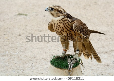 DOHA - MARCH 1 : Peregrine falcon at the Falcon Souq at 1 March, 2015 in Doha, Qatar. Falconry is very popular in Qatar. - stock photo
