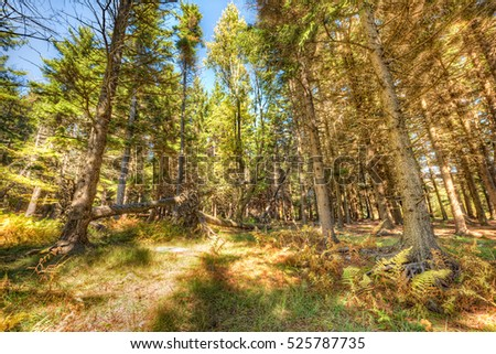 Dolly sods sunny pine forest during autumn in West Virginia