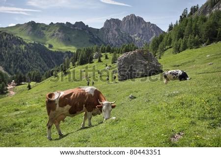 Dolomite Alps - cows in Contrin Valley - stock photo
