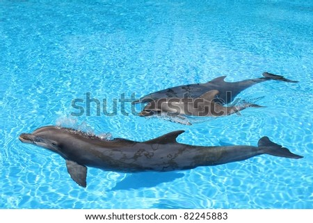 Dolphin family swimming Mother with baby in clear blue water. - stock photo