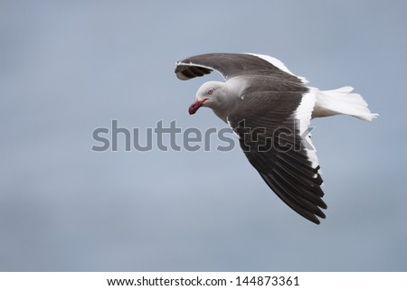 Dolphin Gull (Leucophaeus scoresbii), adult breeding plumage in flight over Saunders Island in the Falklands. - stock photo