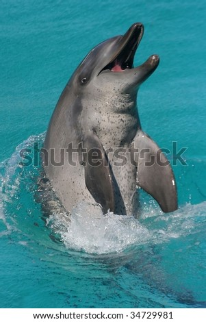 Dolphin having fun in clear blue water - stock photo
