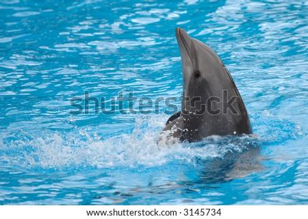 Dolphin is swimming backwards. - stock photo