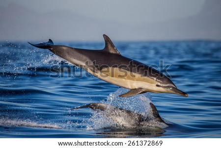 Dolphin jump in the ocean. South Africa. - stock photo
