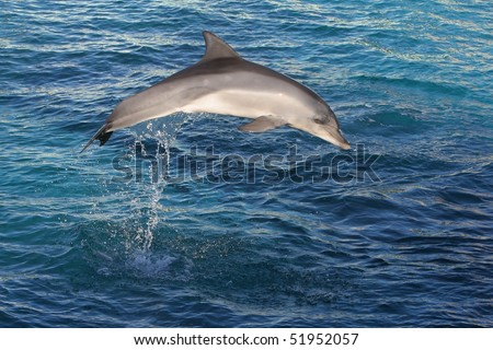 Dolphin jumping out of dark blue ocean water