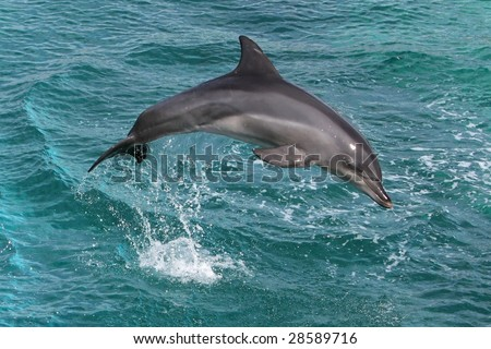 Dolphin jumping out of the blue water - stock photo