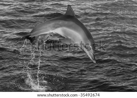 Dolphin jumping out of water making a splash - stock photo