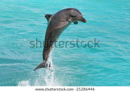 Dolphin making classic leap out of blue water - stock photo