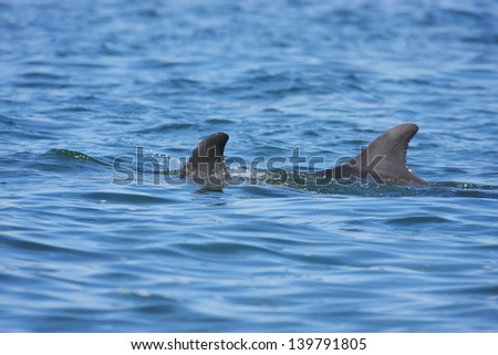 dolphin marine mammals in the national park Paracas and the Ballestas Islands - stock photo