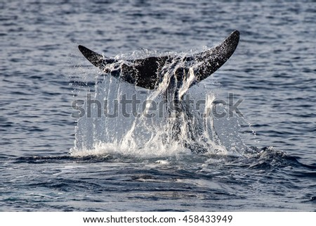 Dolphin name Cuvier's whale ultra rare to see while tail flapping