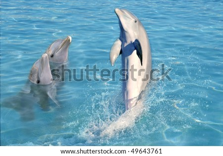 dolphin show in caribbean tuRquoise water swimming standing [Photo Illustration]