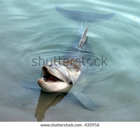 Dolphin sitting in shallow water waiting to interact with people - stock photo